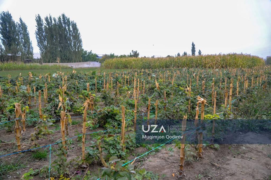 Vodilda yetishtirilgan malina Polshaga eksport qilinmoqda